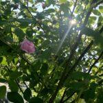 アピイファーム バラ